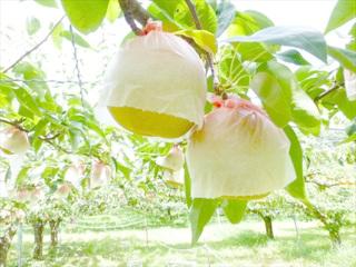 日本における梨の登場