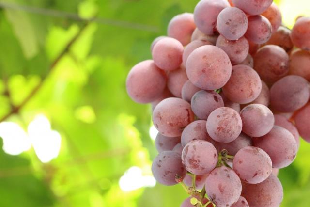 果物狩り(巨峰・梨)は【森園】で!期間限定の果実の味を満喫